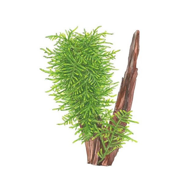 Taxiphyllum