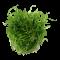 Helanthium tenellum 'Green'