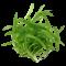 Helanthium 'Quadricostatus'