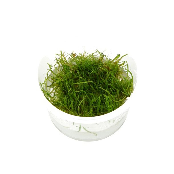 Taxiphyllum barbieri ( java mos ) 1-2 grow.
