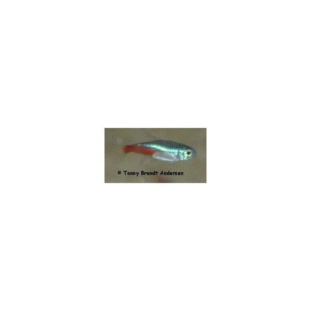 Alm. neonfisk / Paracheirodon innesi