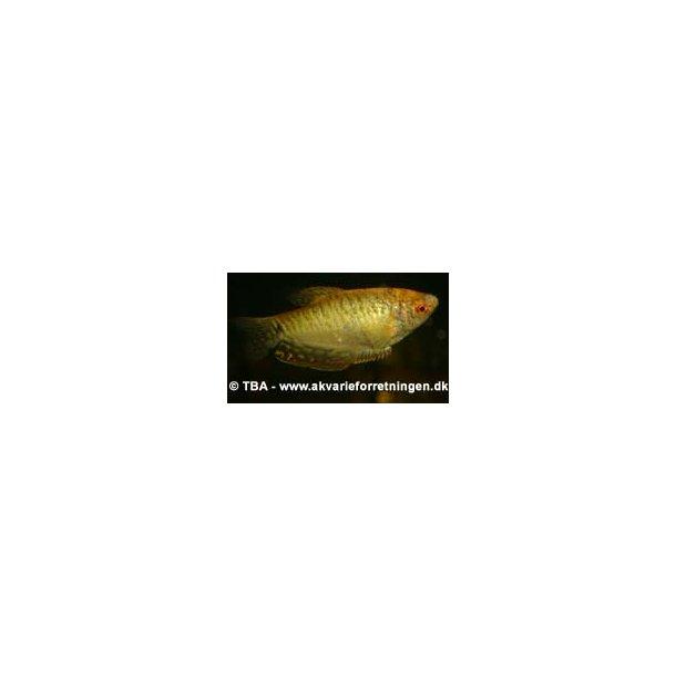 Guld Gurami / Trichogaster trichopterus
