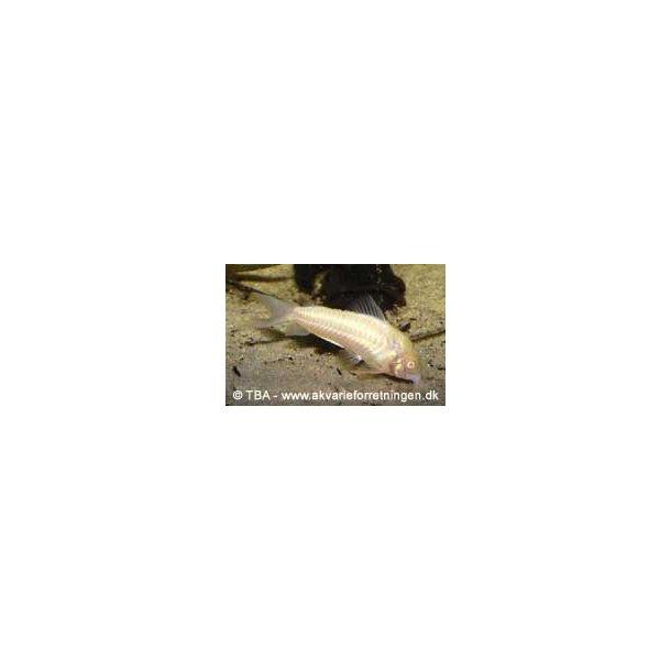 Albinopansermalle / Corydoras aeneus