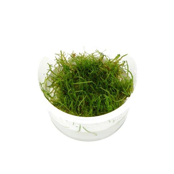 Taxiphyllum Flame ( java mos ) 1-2 grow.
